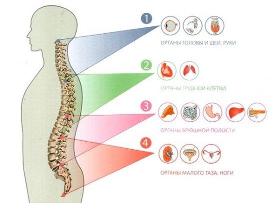 Связь позвоночника и органов
