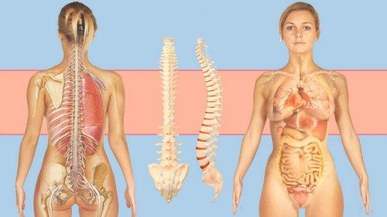 Позвоночник и внутренние органы