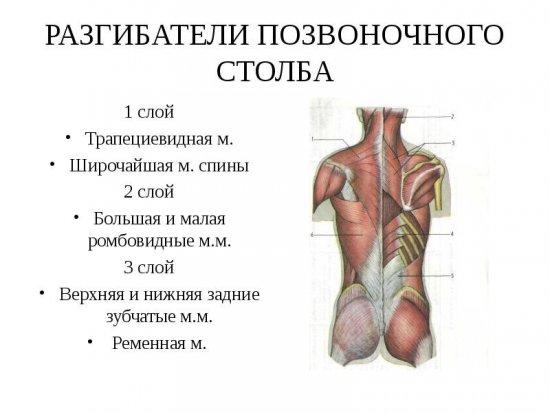 Мышцы-разгибатели спины