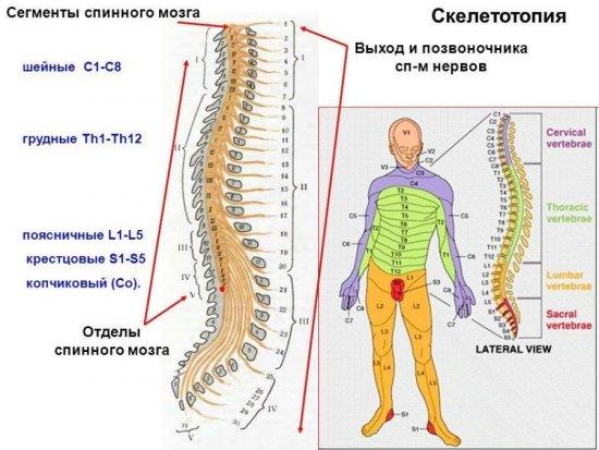 Скелетотопия спинного мозга
