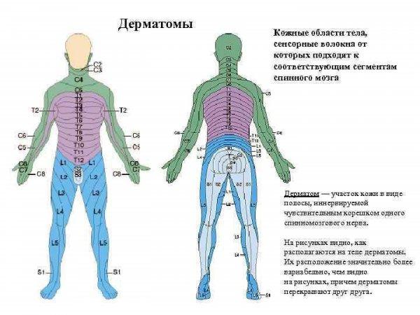 Наглядное представление связи кожи и спинного мозга